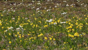 Glacier Lilies in an Alpine Meadow Royalty Free Stock Image