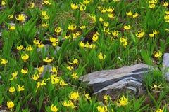 Glacier Lillies Stock Photo