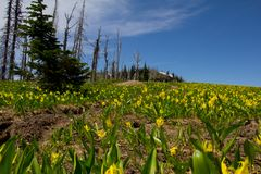 Glacier Lilly Meadow Royalty Free Stock Image