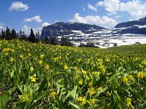 Glacier Lily Meadow. This image of the glacier lilies was taken at Logan Pass in Glacier National Park - Montana Stock Photo