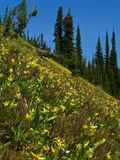 Glacier Lily Slope. This image of the glacier lilies on the steep hillside was taken in the Jewell Basin hiking area of NW Montana Stock Photos