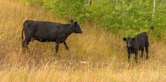 Glacier National Park del bestiame del pascolo libero immagine stock libera da diritti