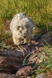 Glacier National Park della marmotta con i capelli bianchi Immagine Stock