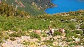 Glacier National Park delle pecore Bighorn stock footage