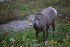 Glacier National Park delle pecore del Big Horn Fotografia Stock