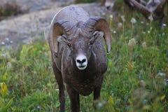 Glacier National Park delle pecore del Big Horn Fotografia Stock Libera da Diritti