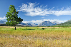 Glacier National Park. The mountain countryside with a lonely tree in Glacier National Park Stock Images