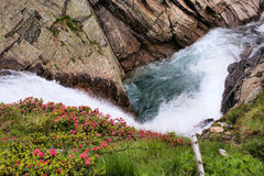Glacier stream and Alpine roses Royalty Free Stock Images