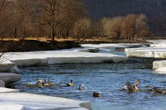 The glaciers are frolicking in the ducks. River, northeast China`s ice and snow melt, the ducks drew crowds of migratory birds royalty free stock image