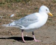 glacous чайка 2 подогнала Стоковая Фотография