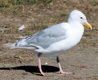 Glacous winged gull 2 Stock Photography