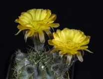 Glacum van cactusacanthocalycium Bloeien, Geïsoleerd op zwarte rug royalty-vrije stock foto