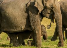 Glad elefantunge som bevakas av modern Royaltyfria Foton