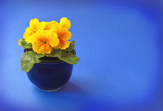 Yellow primula blooming Royalty Free Stock Images