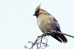 Waxwing on a branch of rowan Royalty Free Stock Images