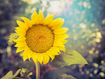 Glad solros på naturbakgrund, slut upp Royaltyfri Bild