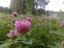 Glade леса с розовым клевером стоковые фото