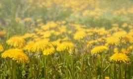 Glade весны желтых одуванчиков Стоковая Фотография RF