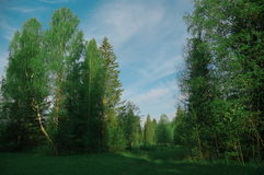 Glade в березе утра леса, сезон Стоковое Фото