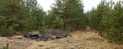Glade в древесине сосны с сложенными ветвями - ландшафте осени Стоковое Изображение