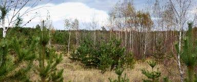 Glade в сосновом лесе с лиственными деревьями - ландшафте осени Стоковые Изображения RF