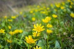 Glade желтых цветков на острове Khortitsa, Украины стоковое фото rf
