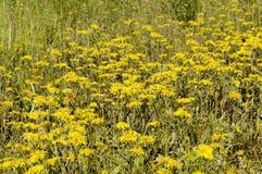 Glade зацветая желтых маргариток Стоковое Изображение RF