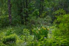 Glade, осока, желтые цветки стоковые изображения