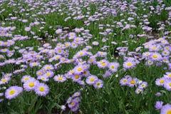Glade покрытый с цветками speciosus Erigeron Стоковая Фотография RF