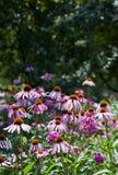 glade пущи echinacea Стоковое фото RF