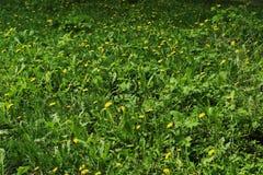 Glade, трава, одуванчики Стоковое Фото