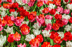Glade тюльпанов красного цвета, розовых и белых свежих Стоковое Изображение RF