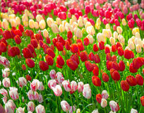 Glade тюльпанов красного цвета, розовых и белых свежих Стоковая Фотография RF
