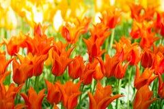 Glade тюльпанов красного цвета, розовых и белых свежих Стоковые Фото