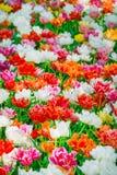 Glade тюльпанов красных, розовых, апельсина и белых свежих Стоковая Фотография