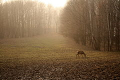 Glade. Autumn glade with a roe deer eating grass Stock Image