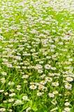 Glade beautiful little daisy Stock Image