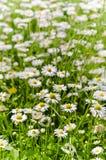 Glade beautiful little daisy Stock Photography