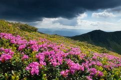 Glade blooming rhododendrons in the mountains Stock Photography