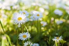 Glade of blossoming daisies Royalty Free Stock Image