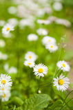Glade of blossoming daisies Stock Images