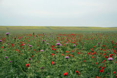 Glade of blossoming red colors of poppies Royalty Free Stock Photography