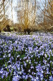 Glade of blue flowers and willows. Meadow of beautiful blue flowers and light coloured willows Stock Photography