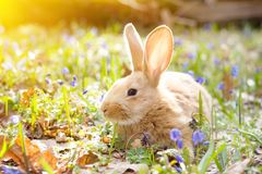 A glade of blue spring flowers with a little fluffy red rabbit, an Easter bunny stock photos