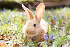 A glade of blue spring flowers with a little fluffy red rabbit, an Easter bunny royalty free stock photo