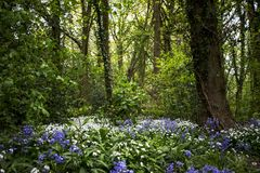 Bluebells and wild garlic woodland stock photo