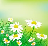A glade of chamomile. In sunny day Royalty Free Stock Photos