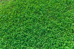 Glade clover. Green grass natural background royalty free stock photo