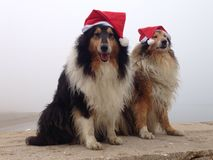 Glade Collie Dogs på Royaltyfria Foton