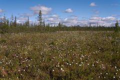 Glade with cotton grass. Royalty Free Stock Images